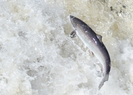 Atlantic salmon leaping in northern Newfoundland (photo Tom Moffatt/ASF)